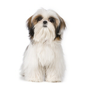 Elevages de Shih tzu en Normandie en France